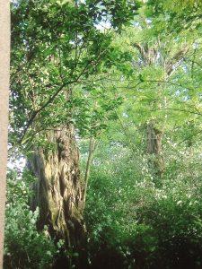 Acacia - jardin de mon enfance